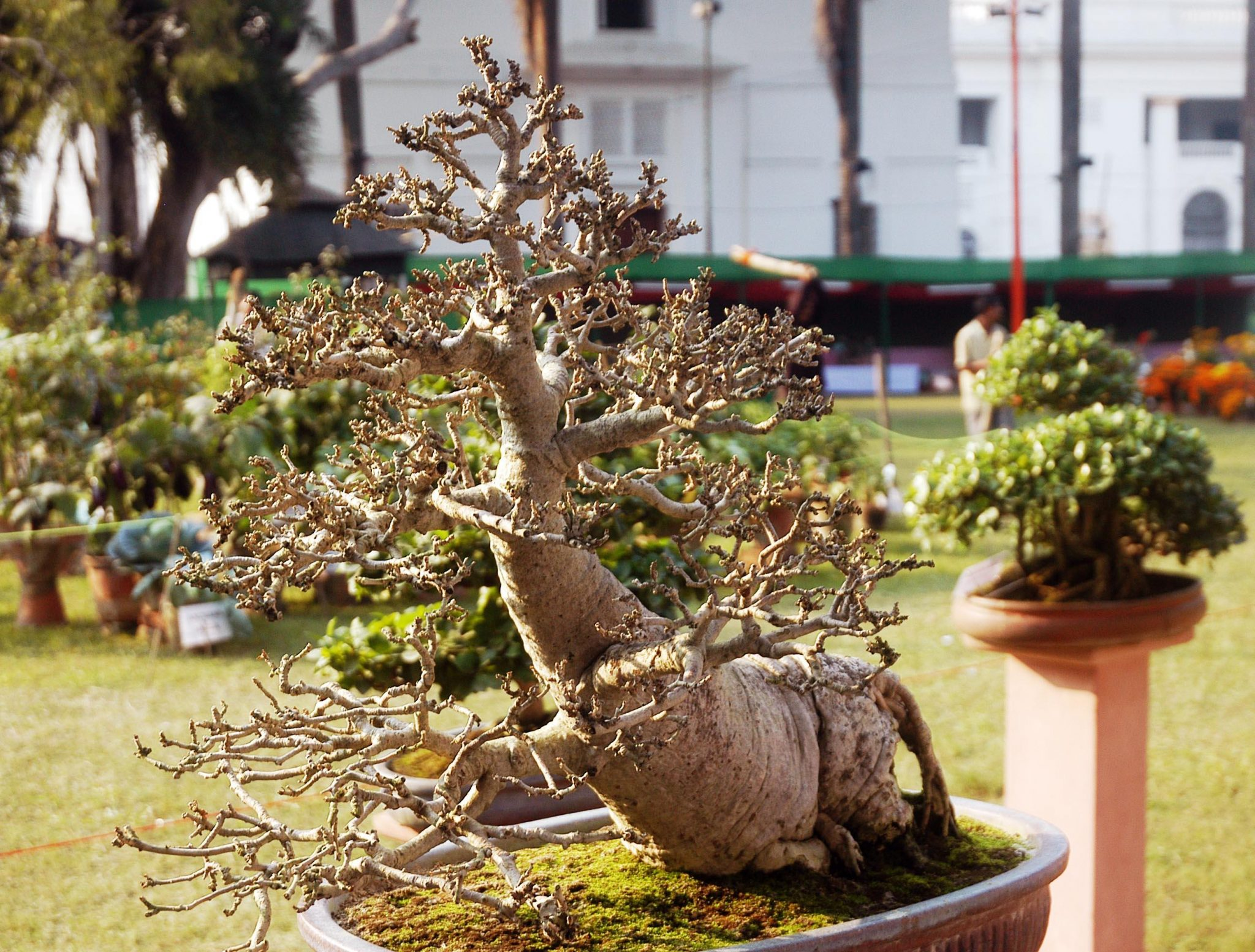 Bonsai are not genetically dwarfed plants