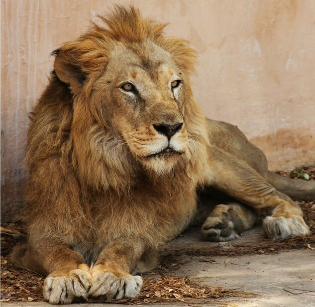 Eight lions in Hyderabad zoo, affected by SARS-CoV2 are responding well to the treatment and are recovering and behaving normally and eating well