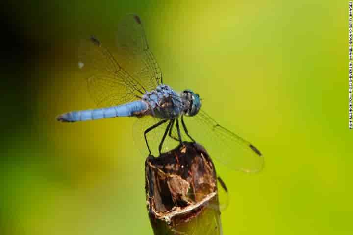 Male dragonfly may lose their wing colour due to climate change (Pic: Courtesy cnn.com)