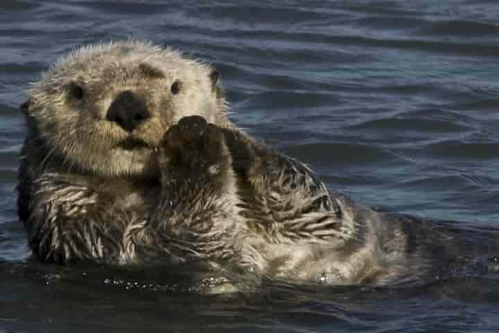 Sea otter which is relatively inactive will require to consume a lot of calories with the objective of keeping warm (Pic: Courtesy vox.com)
