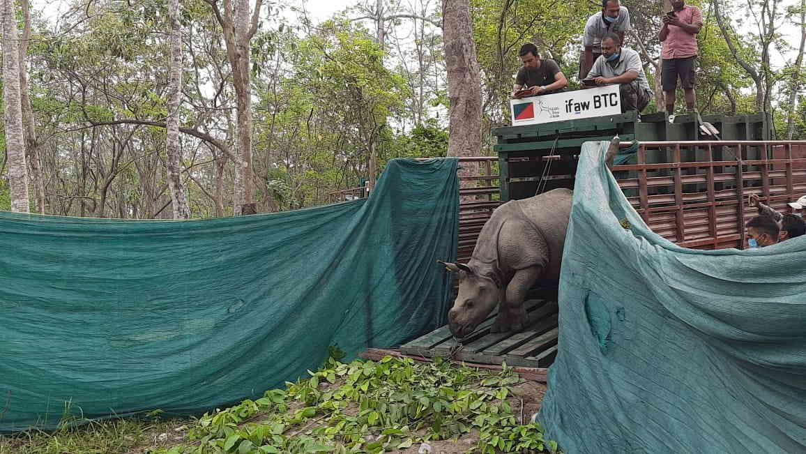 The rhino calves have undergone a protocol of rehabilitation for two years before they translocated on Saturday to tiger reserve, 176 km west of Guwahati