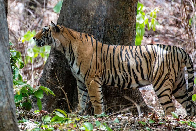 India still harbors large populations of tigers, lions and leopards (Photo: Mrityunjoy Kumar Jha)